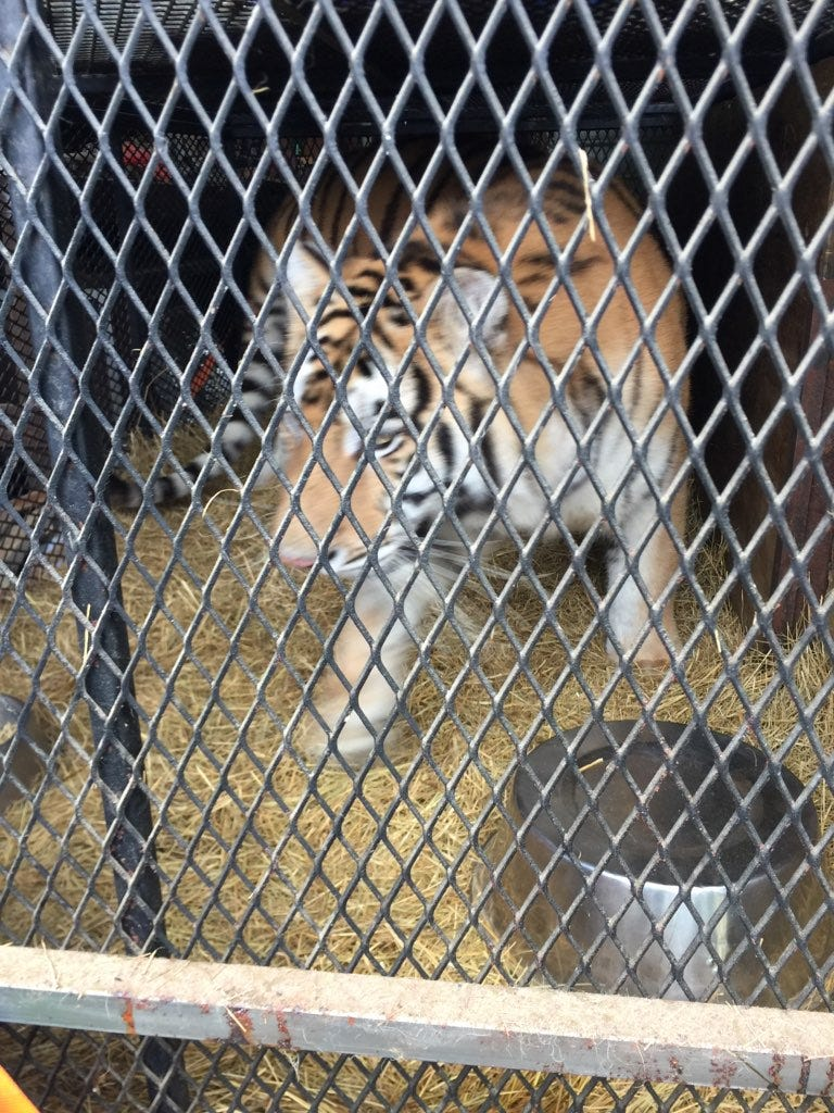 They were looking for a place to smoke marijuana. Police said they found a tiger instead