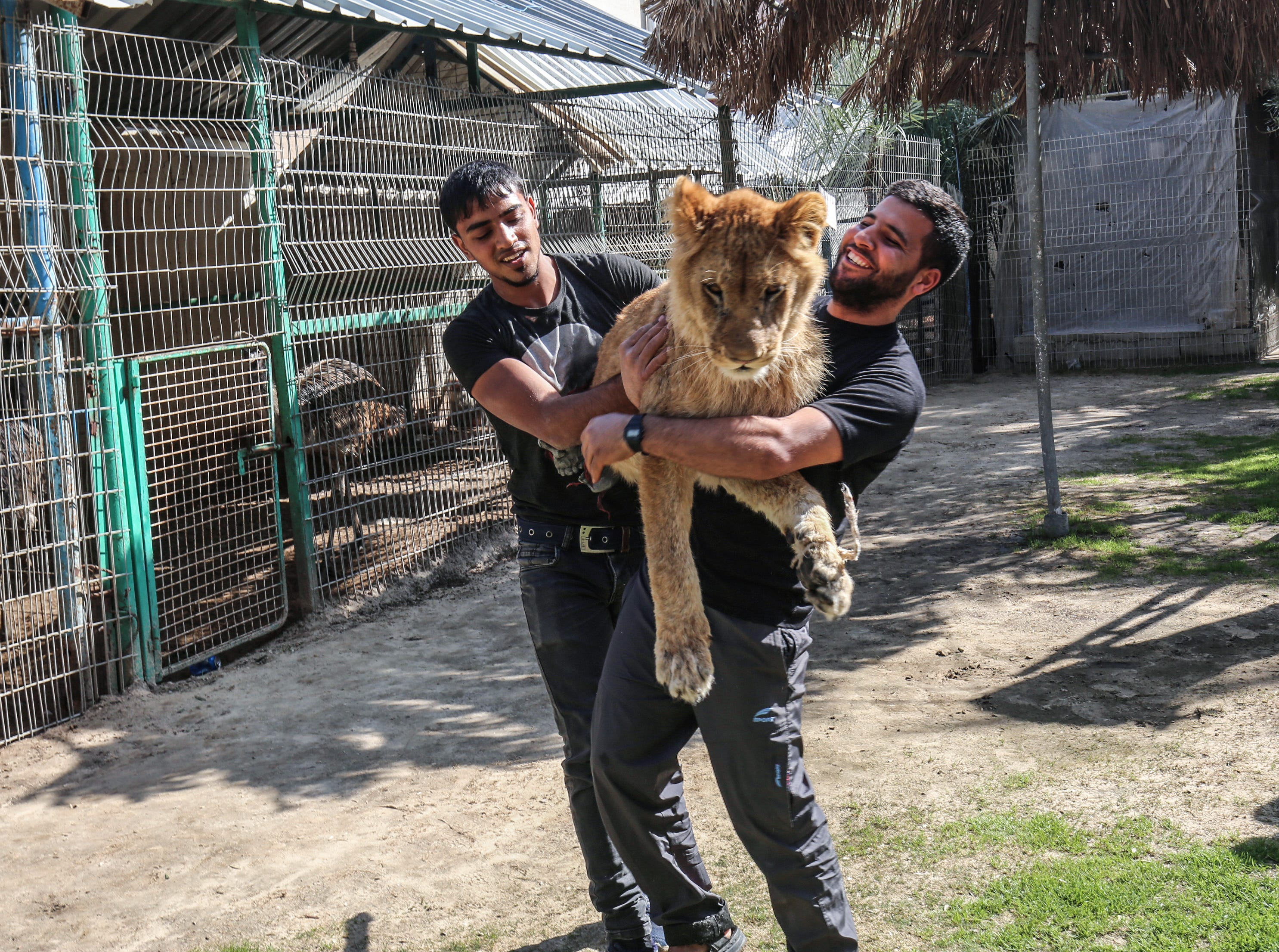 """Palestinian zoo workers hold up the lioness """"Falestine"""" at the Rafah Zoo in the southern Gaza Strip on February 12, 2019. - The zoo in the war-battered Palestinian enclave is promoting itself as offering the chance to play with the 14-month-old declawed lioness, which is supposed to be placid enough to meet visitors. It is the latest unconventional animal care practice in Gaza where there is no specialised animal hospital with a few dilapidated zoos competing for business."""