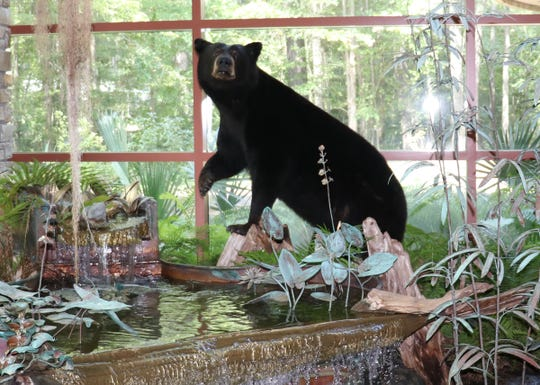This 468-pound bear was killed in a car collision in Mississippi and is now on display at the Mississippi Department of Wildlife, Fisheries, and Parks' Jackson office.