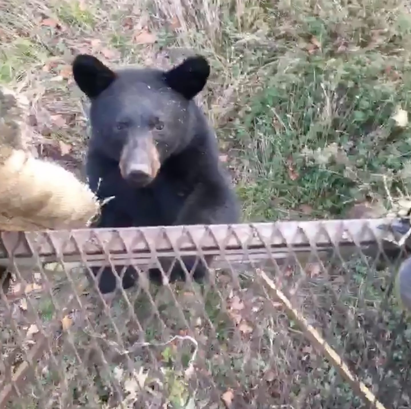 Jordan Coopwood captured video of a young bear climbing into the hunting stand he and friend Andrew Smith were sitting in.
