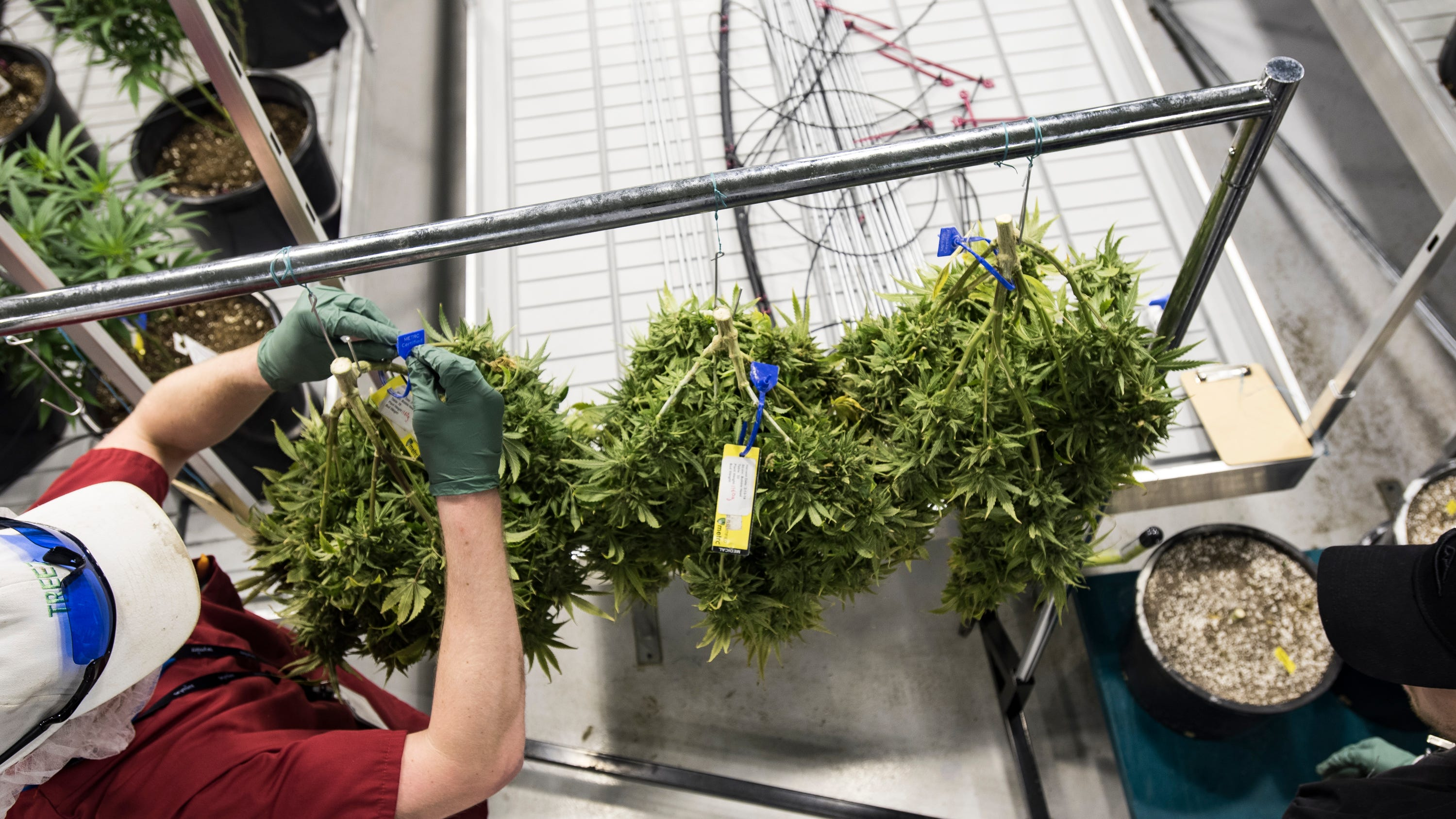 Marijuana company Green Peak Innovations employs 80 people and expects toemployabout 200 by the end of the year.