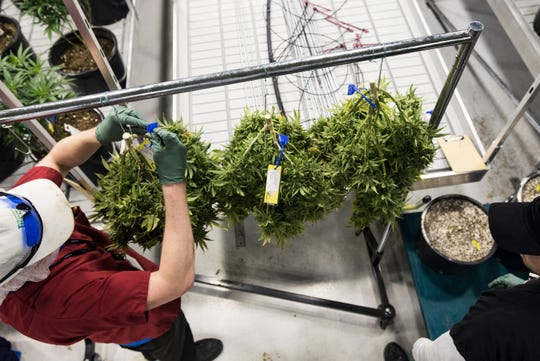 Workers at Green Peak Innovations in Windsor Township pull marijuana plants to be dried, Wednesday, Feb. 13, 2019.  Green Peak currently employs anbout 80 people, and expect to employ about 200 by the end of the year.
