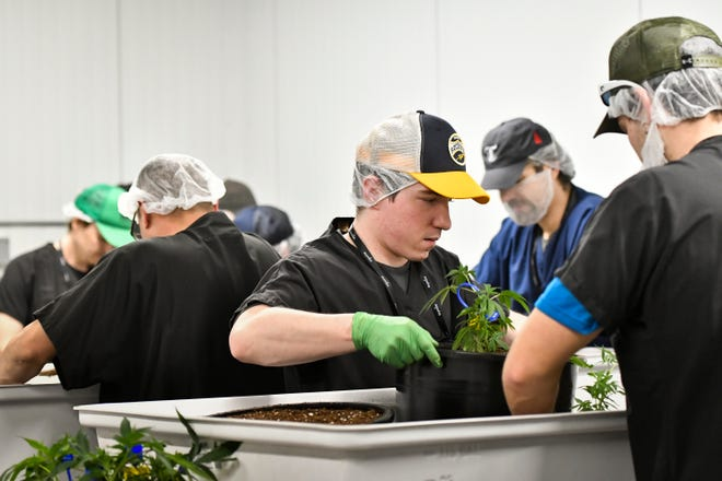 Workers at Green Peak Innovations in Windsor Township, near Lansing, create clones of marijuana plants. The company is one of the largest of its kind in Michigan.