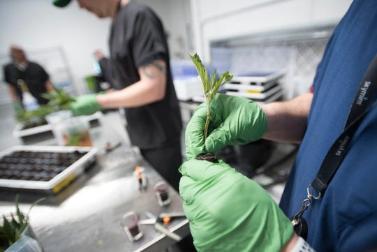 Workers at Green Peak Innovations in Windsor Township create clones of marijuana plants Wednesday, Feb. 13, 2019.