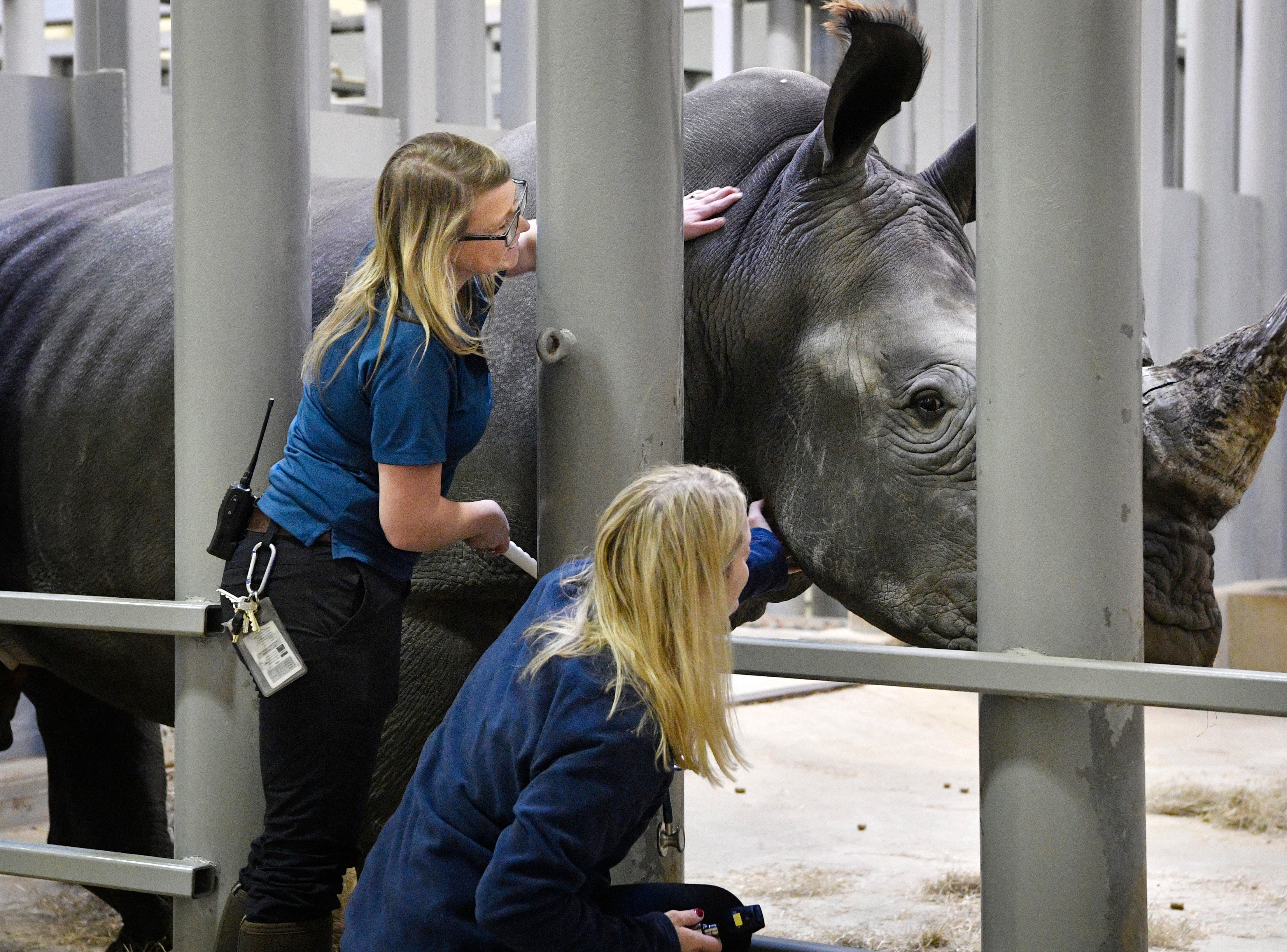 Melinda Kommavongsa gives the new male White Rhino a scratch with a brush that allows Dr Heather Robertson to do a closeup inspection Wednesday Dec. 19, 2018, in Nashville, Tenn.