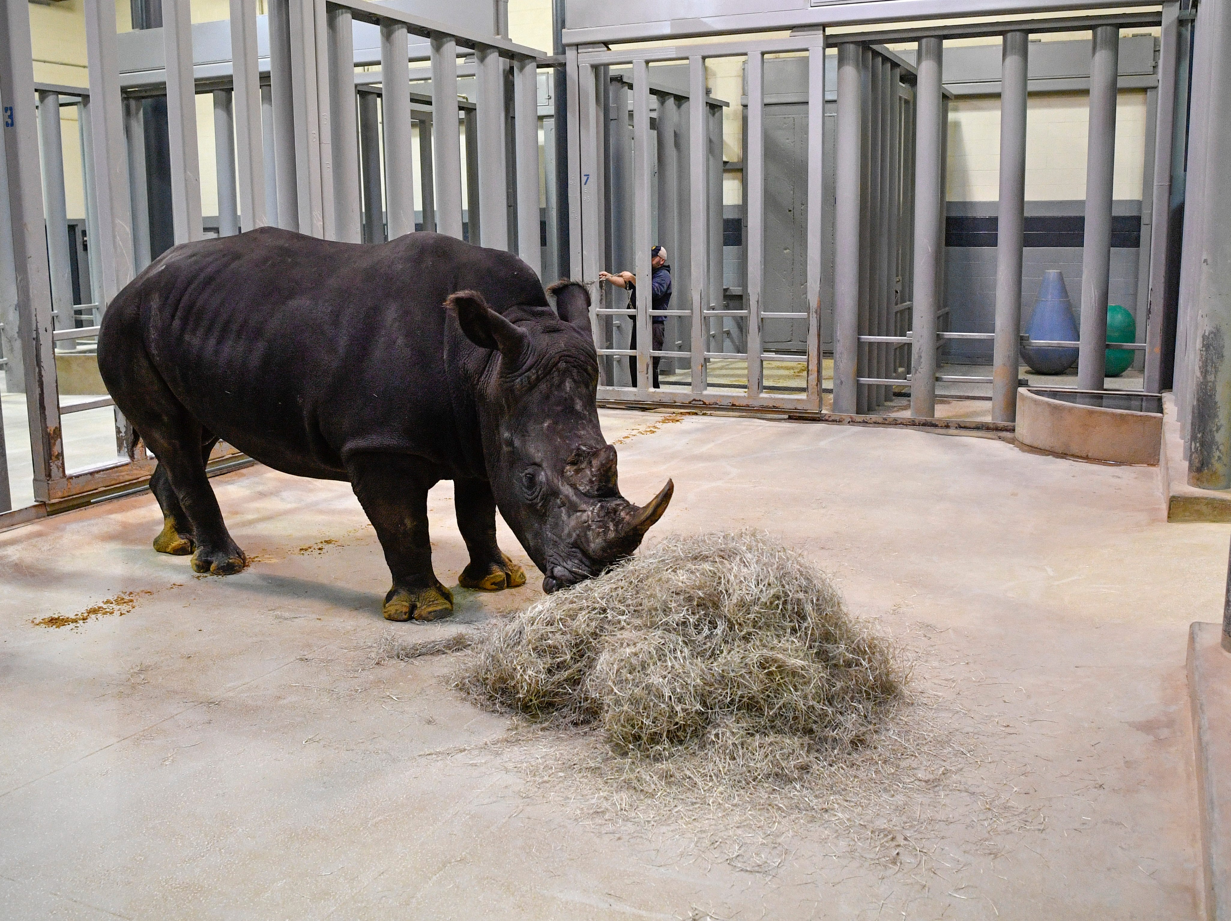 A male White Rhino that will be a mate for the four female rhinos has arrived at the Nashville Zoo and will be in quarantine for 30 days. Saturday Dec. 1, 2018, in Nashville, Tenn.