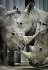 T.C., a male white rhino, left, will be a mate for the four female rhinos at the Nashville Zoo, and has recently been introduced to the females, although in different enclosures.