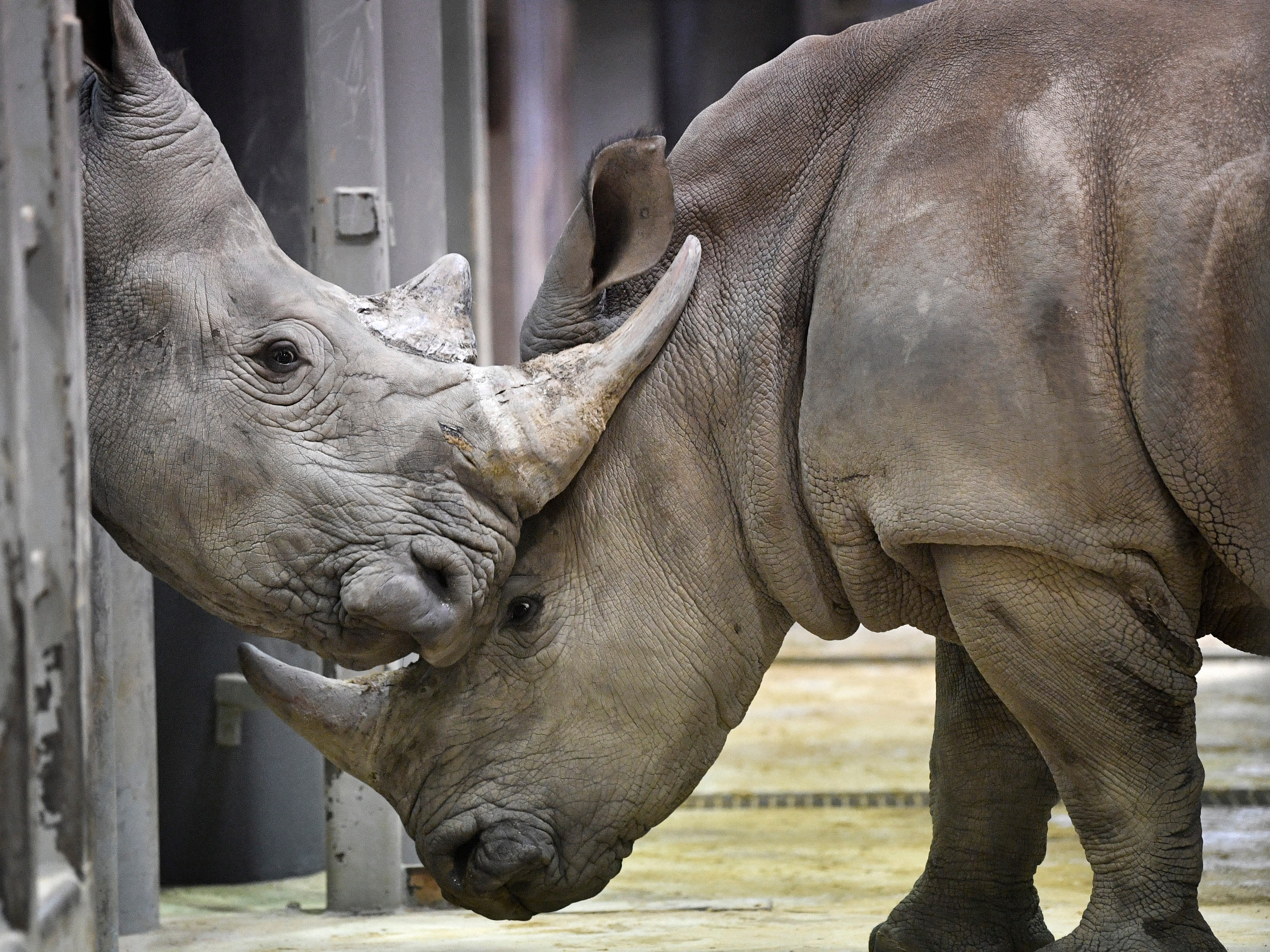 A male White Rhino, left, who is new to the Nashville Zoo, meets a female rhino and both become acquainted with each other Thursday, Feb. 7, 2019, in Nashville, Tenn.