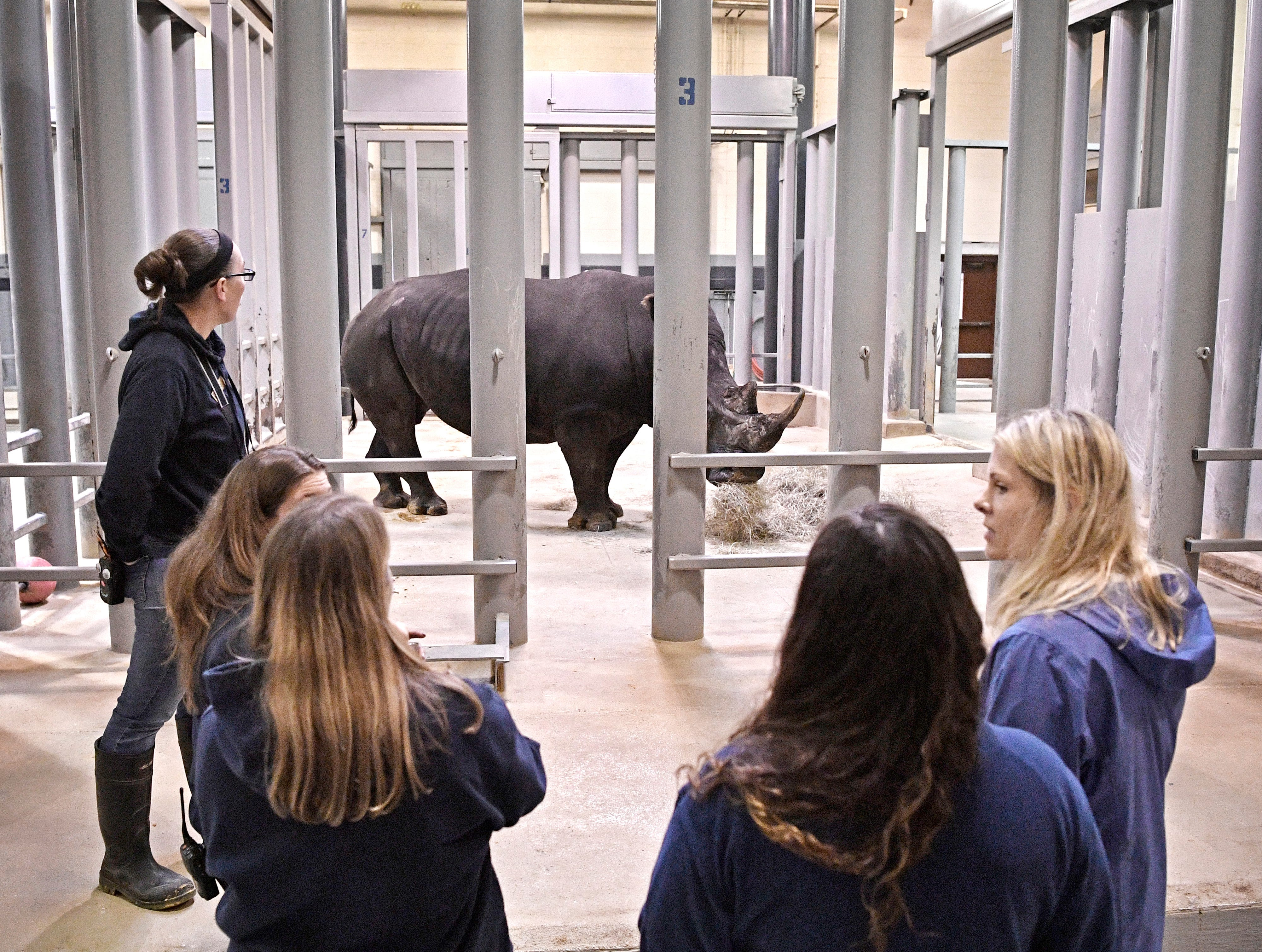 Workers observe the new male White Rhino that will be a mate for the four female rhinos at the Nashville Zoo  Saturday Dec. 1, 2018, in Nashville, Tenn.