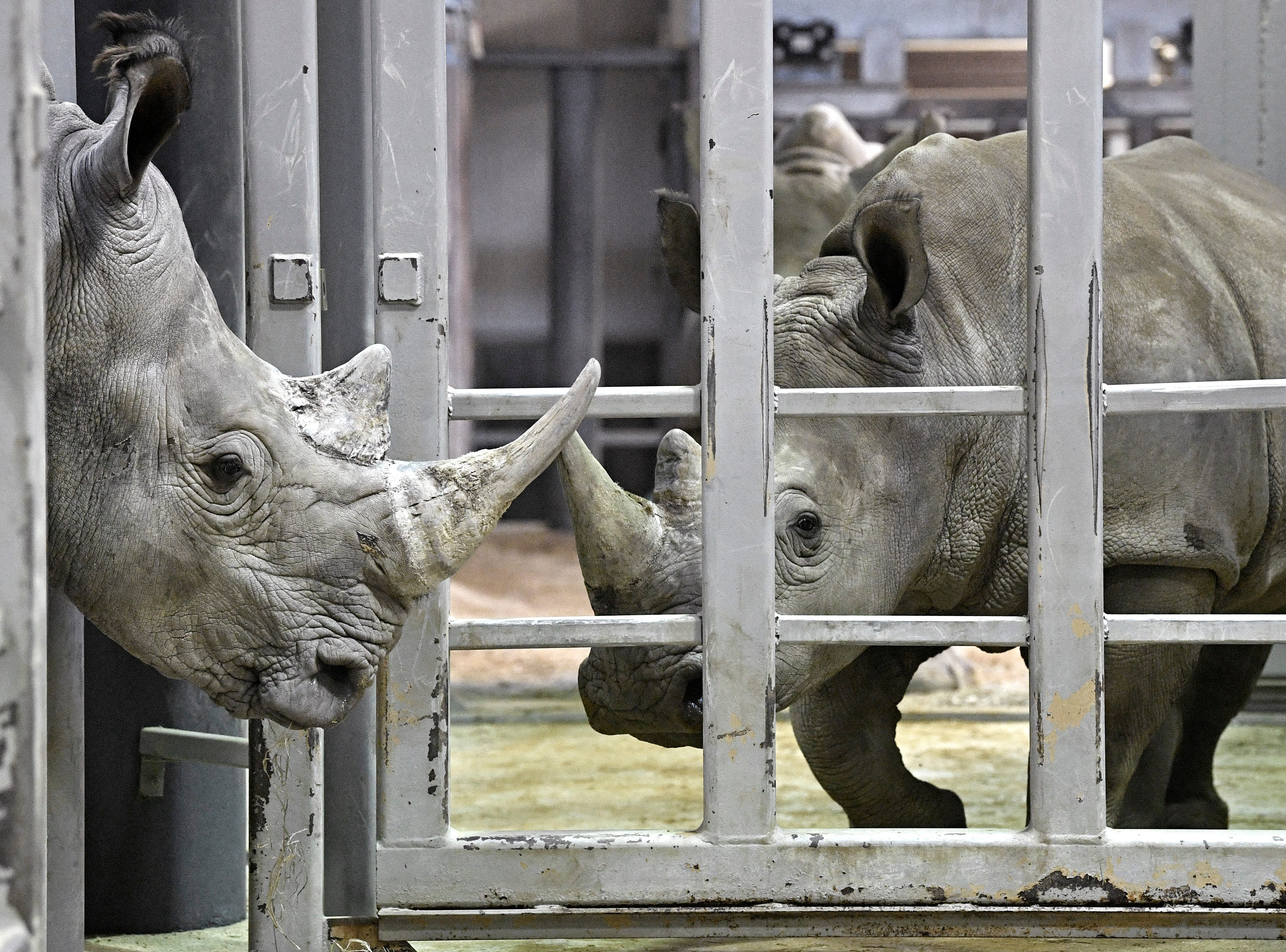 A male White Rhino and a female can only look at one another through bars in their enclosures for now.The male will be a mate for the four female rhinos at the Nashville Zoo and has recently been introduced to the females although in different enclosures. Thursday, Feb. 7, 2019, in Nashville, Tenn.