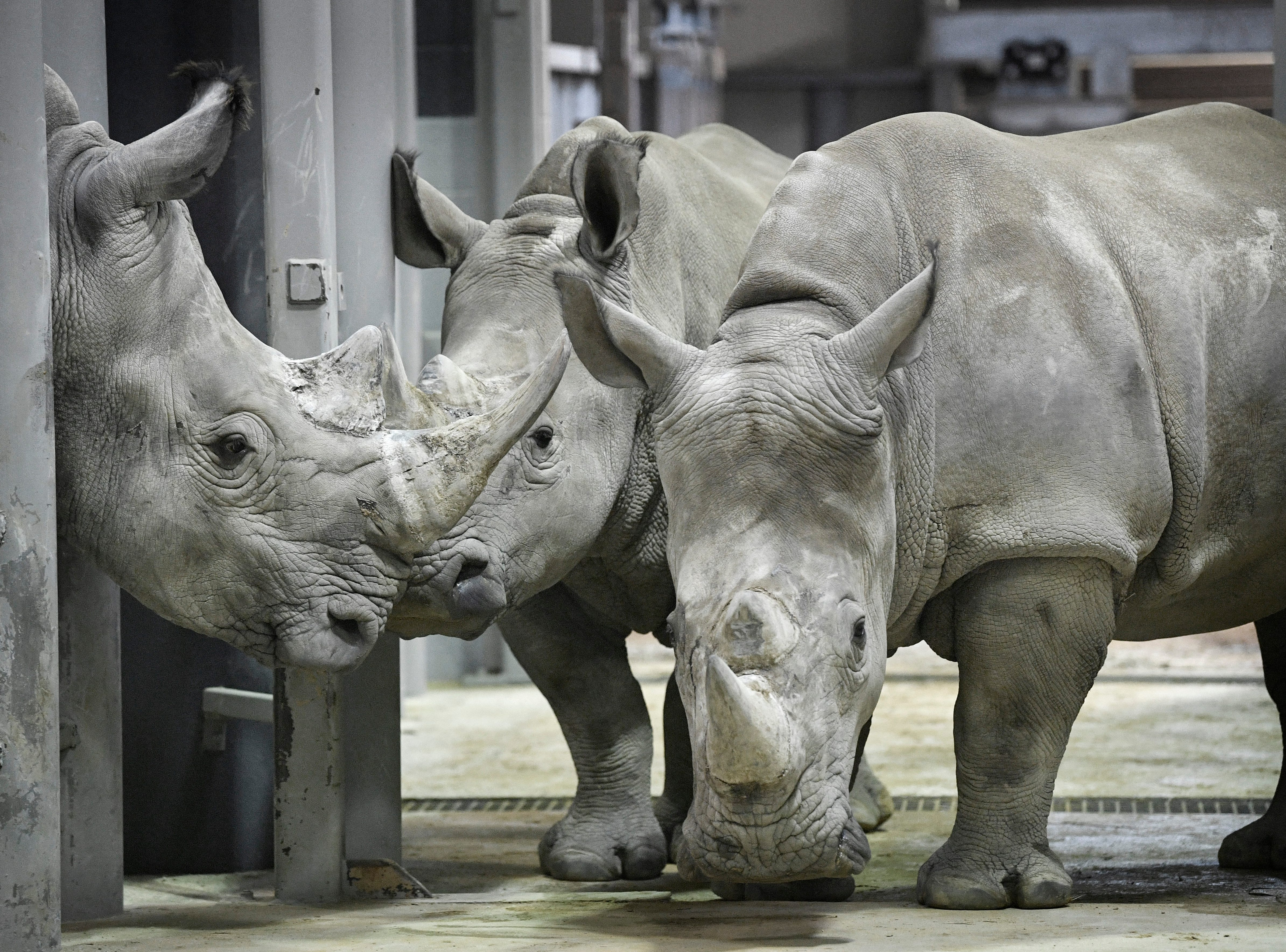 A male White Rhino, left, that will be a mate for the four female rhinos has arrived at the Nashville Zoo and has recently been introduced to the females although in different enclosures. Thursday, Feb. 7, 2019, in Nashville, Tenn.
