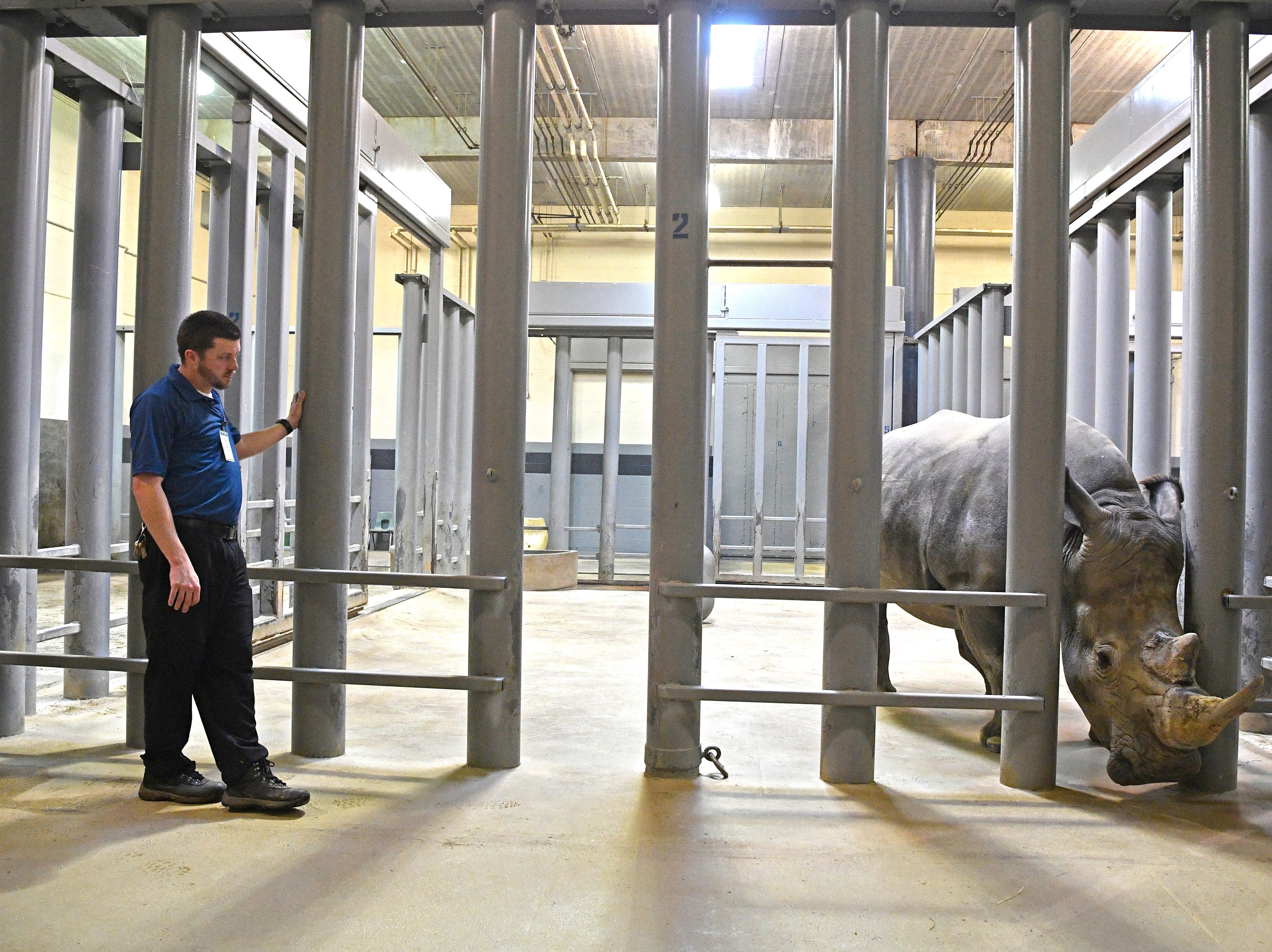 Hoofstock Area Supervisor Jonathan Hankins gets a closer look at the male White Rhino that will be a mate for the four female rhinos has arrived at the Nashville Zoo Thursday, Feb. 7, 2019, in Nashville, Tenn.