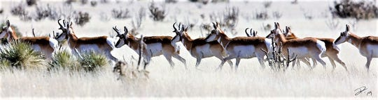 The herd sticks together. Seldom is a pronghorn seen alone. If  one is spotted, probably others are nearby.