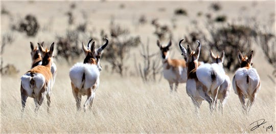 From the back, pronghorns resemble cotton balls on foot.