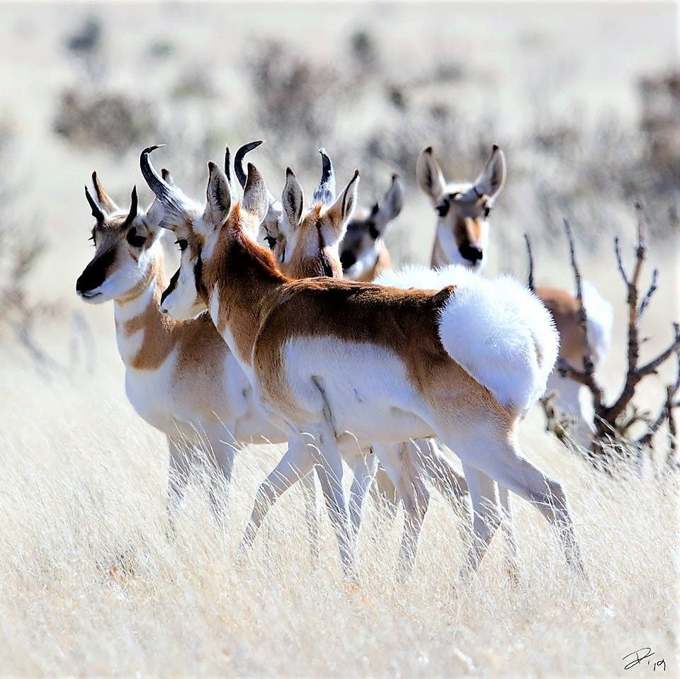 Tremblay: Pronghorn on the prairie