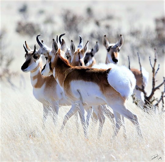 The pronghorn is a native of North America.