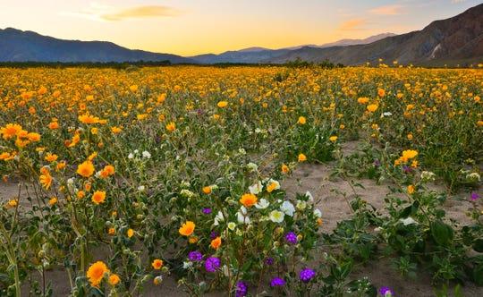 A wildflower bloom in Anza-Borrego Desert State Park