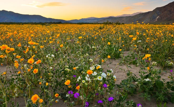 A wildflower bloom in Anza-Borrego Desert State Park