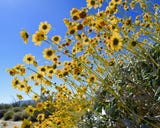 A super bloom is a colloquial term to describe blooms of wildflowers that super-exceed expectations.