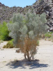 With the exception of desert willows and smoketrees adapted to dry washes, most trees can't take sand or soil deposits against the base of the trunk.