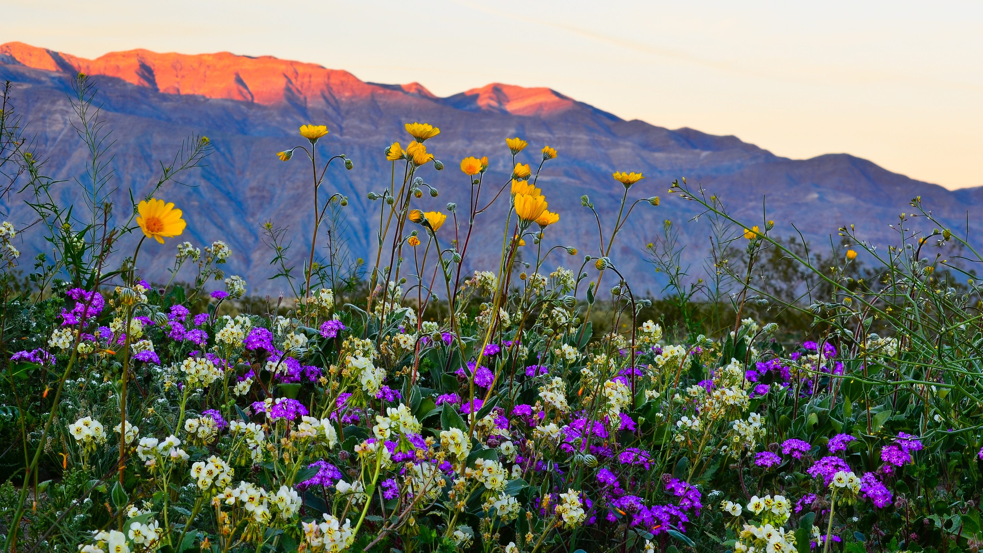 When will this year's wildflower super bloom happen in the California desert?