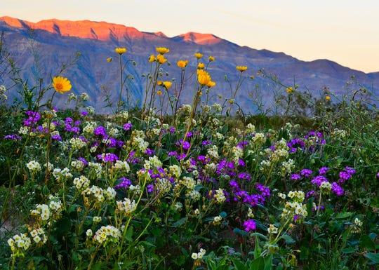 Wildflowers in Anza-Borrego Desert State Park