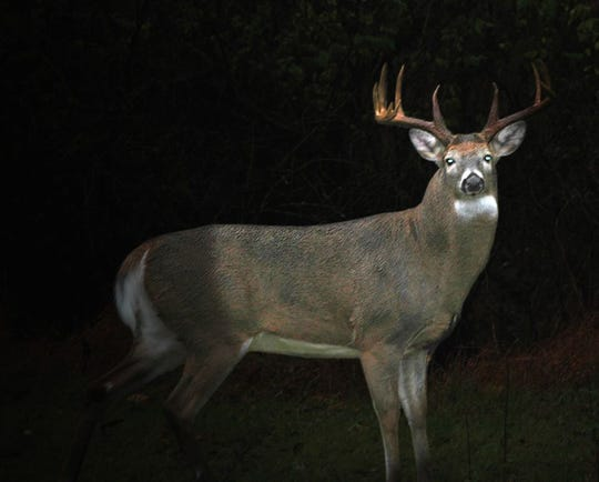 "A picture of a ""robo deer"" used to catch potential deer poachers."
