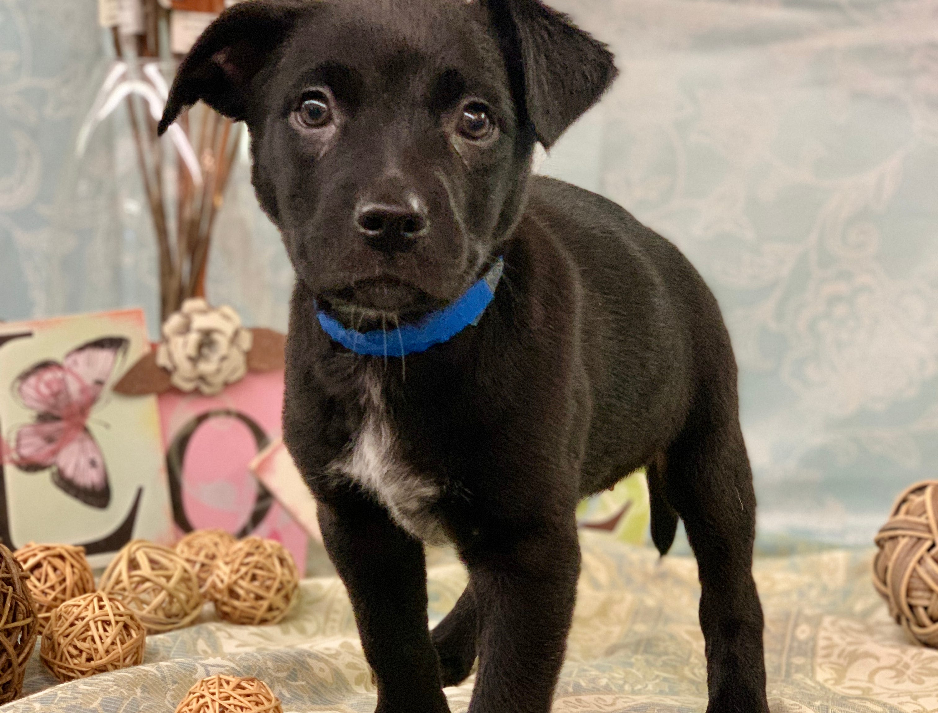 Cookie Monster is an 8-pound, 11-week-old, female, heeler and pit bull mix. She's being house trained and is good with other dogs and cats. She and her seven siblings are available for adoption. Visit Tails of Rescue Adoption Center, 981 Lake Blvd., Redding. Call 448-7444. Go to http://tailsofrescue.org.