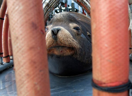 """In this March 14, 2018, file photo, a California sea lion peers out from a restraint nicknamed """"The Squeeze"""" near Oregon City, Ore., as it is prepared for transport by truck to the Pacific Ocean about 130 miles away."""