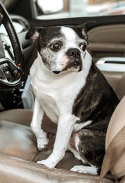 Duke, a 10-year-old Boston Terrier, went missing during his family's vacation near McDowell in late January. He was located days later in Snowshoe, West Virginia.
