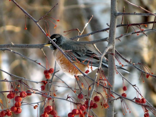 Thanks to food sources like flowering crabs, non-migrating robins have something to eat.