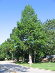 Bald-cypress is a successful tree addition to our urban forest.