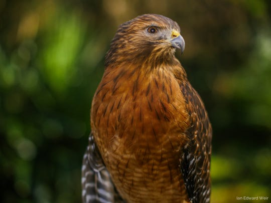 At Audubon's Living With Wildlife program, meet some of your wild neighbors, like Rudy, this red-shouldered hawk.