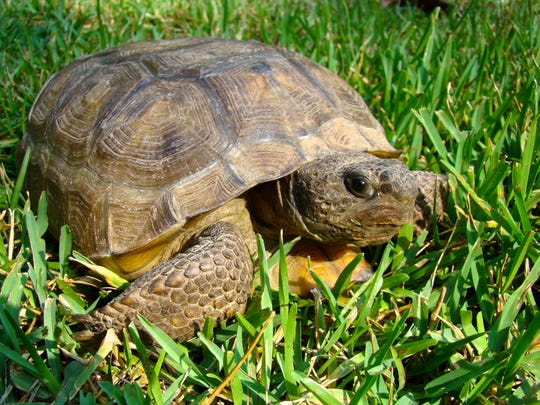 St. Francis Wildlife receives hundreds of injured turtles and tortoises, like this gopher tortoise every year. Learn what you can do to help make their lives a little safer.