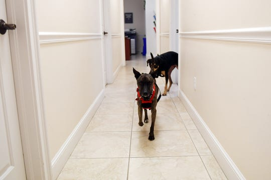 "Mattie (front) and Bella roam the halls of the Indian River Shores Public Safety Department on Wednesday, Feb. 13, 2019. Both dogs came from HALO Rescue in Sebastian and are part of a new foster initiative between the department and the shelter. ""The idea is that it's great publicity for HALO to get the exposure and we'll foster dogs here, which means when people want to see one of the dogs that's up for adoption they'll come here,"" said Lt. Mark Shaw. ""And it might increase the likelihood of them getting adopted because people think it's cool that the dog has been living here at the fire station. Obviously, we can vouch for the dog, we'll know their temperament and personality and make sure they get put in the right place. I think it's going to be a great program."""