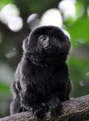 In this undated photo provided by the Palm Beach Zoo, a rare Goeldi's monkey, sits on a branch at an enclosure at the Palm Beach Zoo, in West Palm Beach.