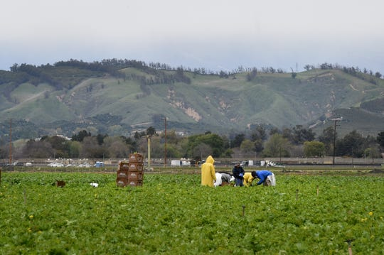 Farmworkers cover up as they harvest a field near Camarillo on Wednesday.