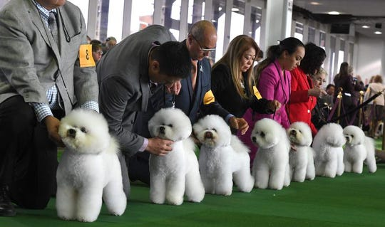 Bichons Frises gather in the judging ring during the Daytime Session in the Breed Judging across the Hound, Toy, Non-Sporting and Herding groups at the 143rd Annual Westminster Kennel Club Dog Show at Pier 92/94 in New York City on February 11, 2019.