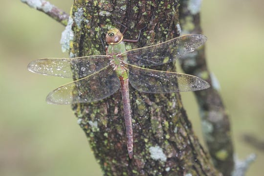 A dragonfly rests a spell on a tree. Texas Master Naturalists get a close look at the world around us as they volunteer.