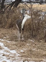 This piebald deer seen along Interstate 41 was mistaken for a calf by motorists on the morning of Feb. 10, 2019.