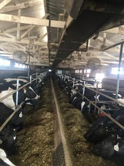 Custom-raised heifers belly up to the bunk to feed at Stodola Farms in Kewaunee.