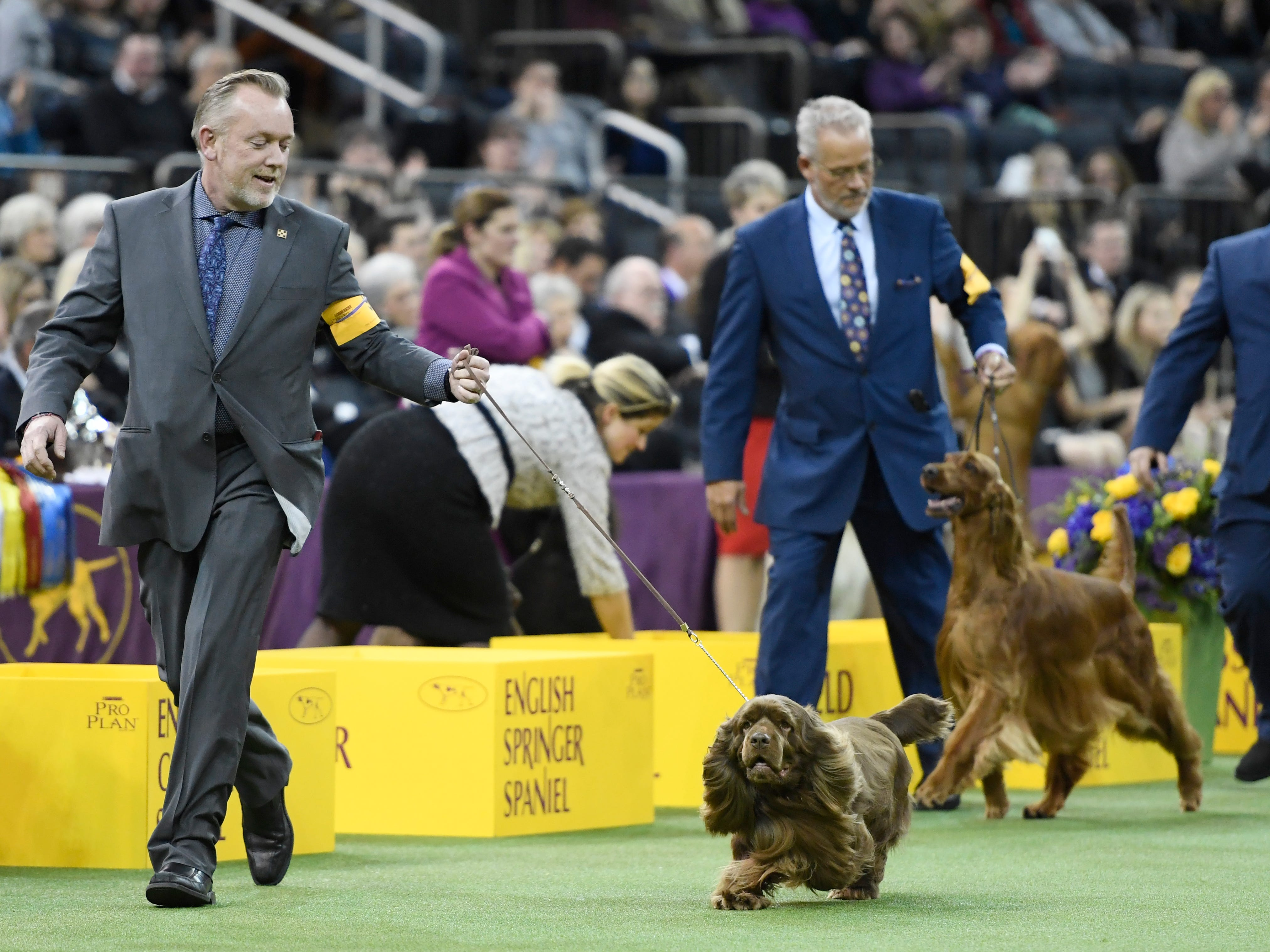 """The Sussex Spaniel """"Bean"""" wins Sporting Group judging at the 143rd Westminster Kennel Club Dog Show at Madison Square Garden."""