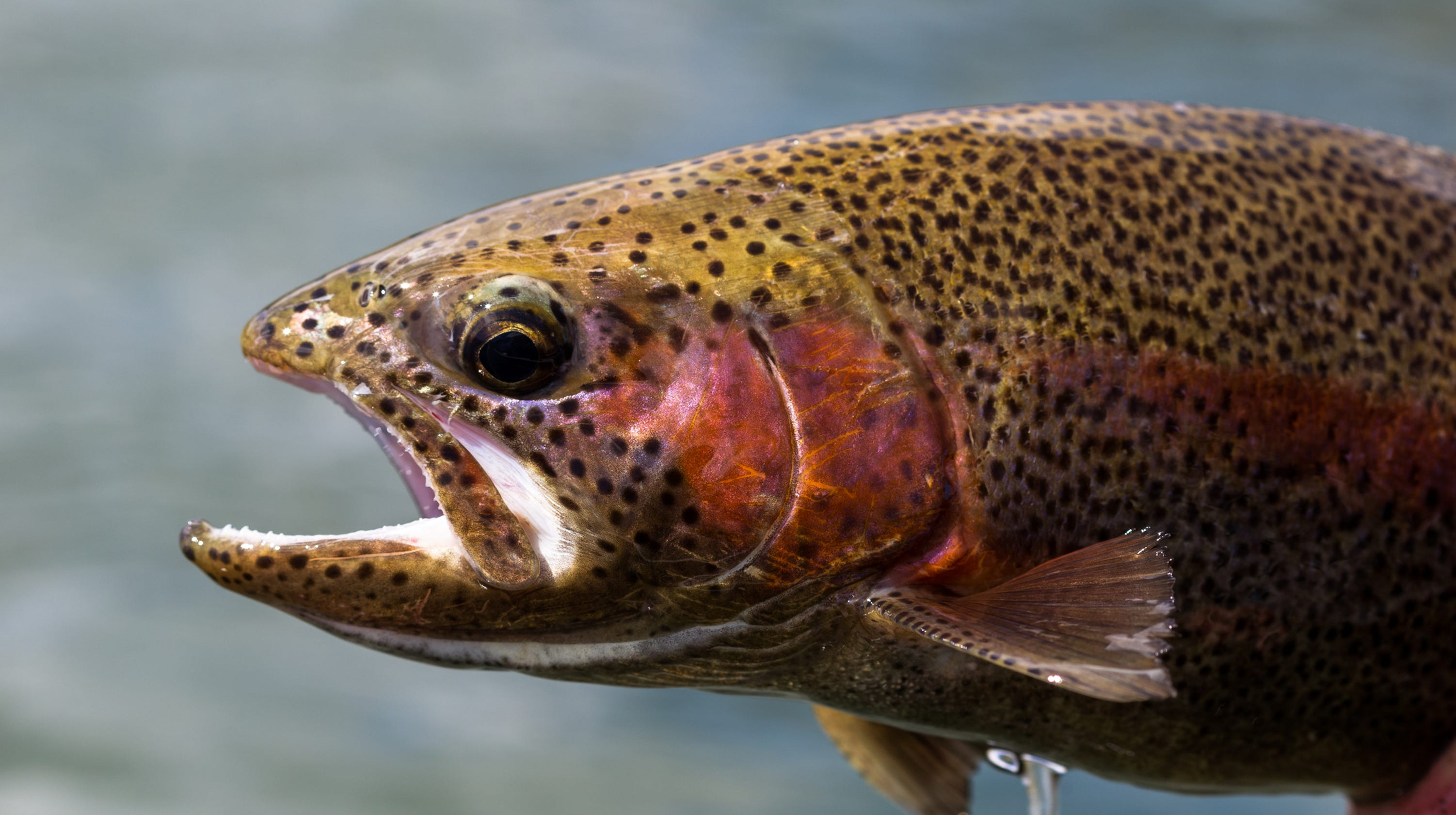 Ohio fishing: State stocking over 100,000 rainbow trout at