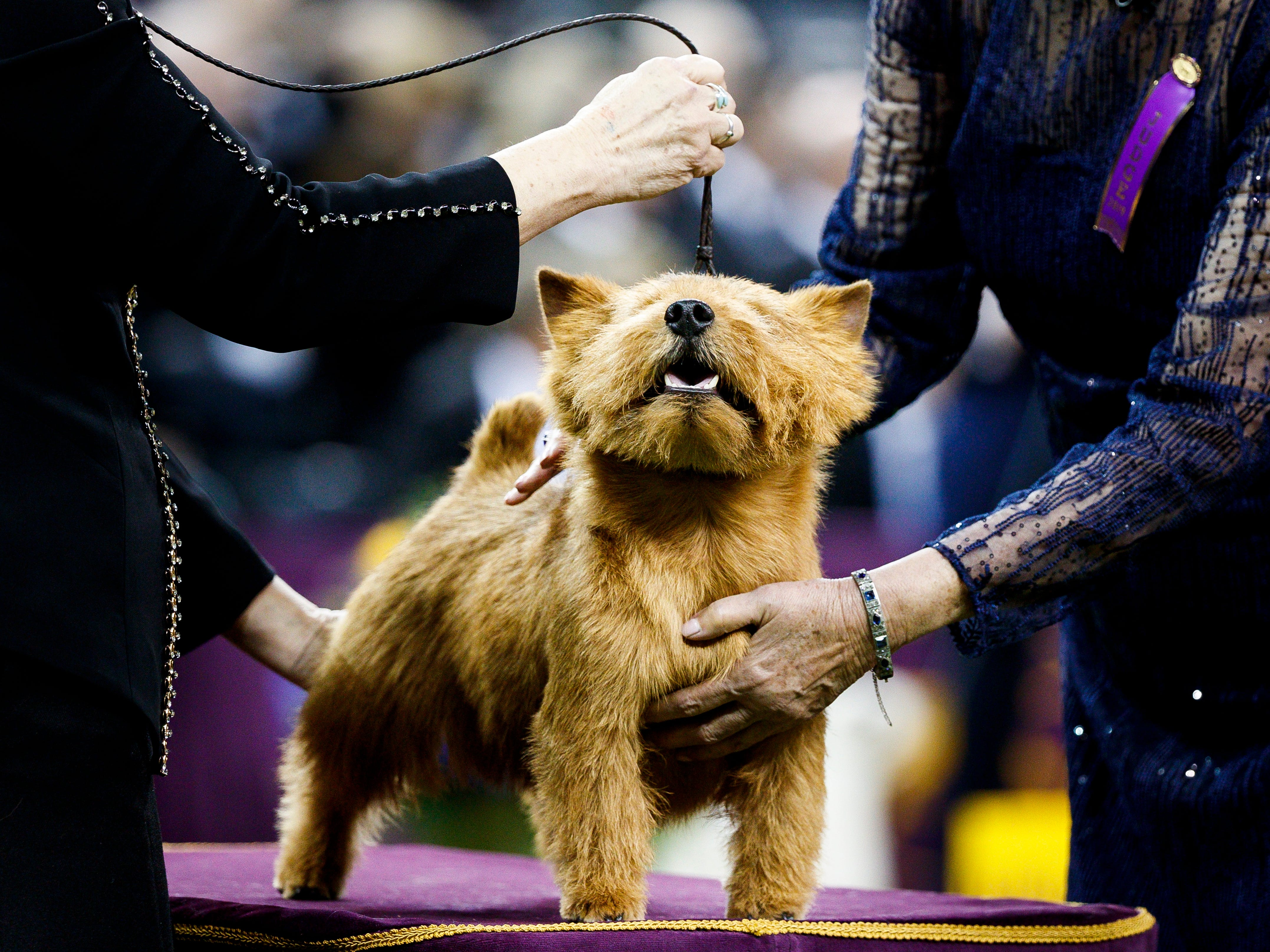 A norwich terrier named Isaac is judged during the Westminster Kennel Club Dog Show.