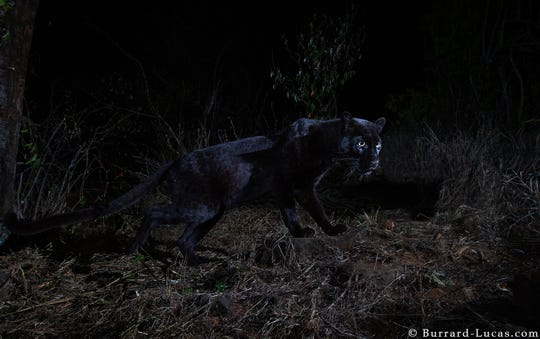 A black leopard was captured by photo at the Laikipia Wilderness Camp in Kenya using a Camtraptions camera trap, which combines a wireless motion sensor, high-quality DSLR camera, and two or three flashes.