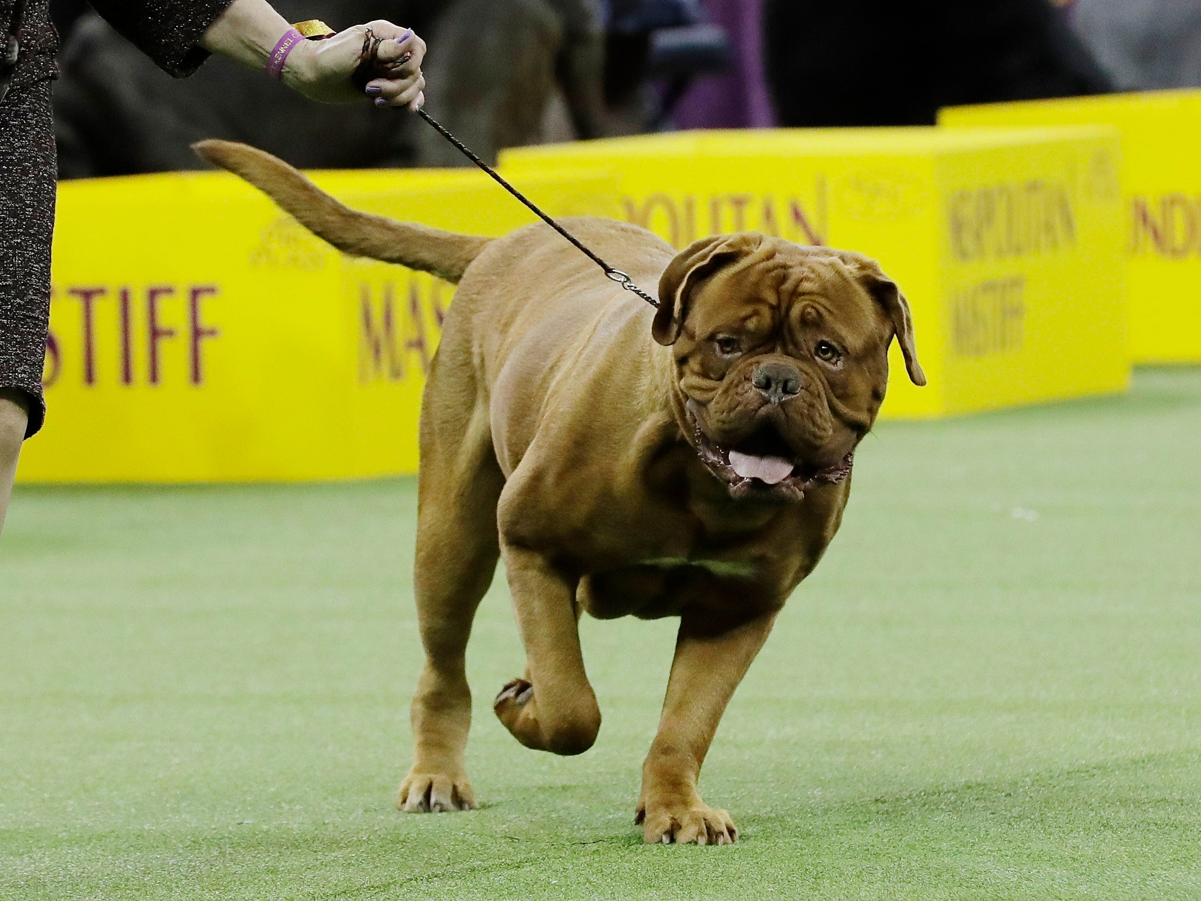 A dogue de Bordeaux competes with the working group at the 143rd Westminster Kennel Club Dog Show.