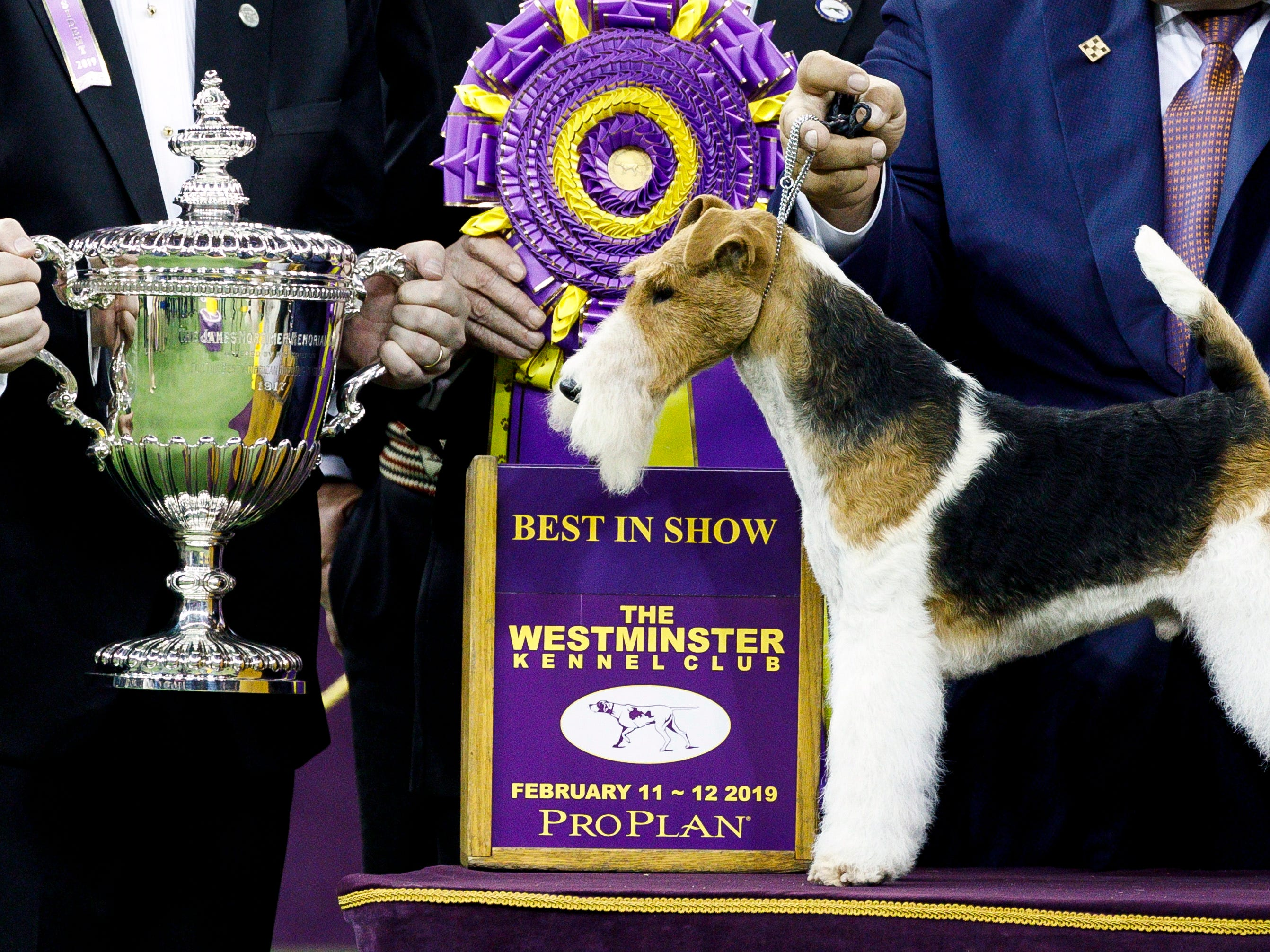 A wire hair fox terrier named King stands next to a trophy after being named Best in Show at the 2019 Westminster Kennel Club Dog Show.