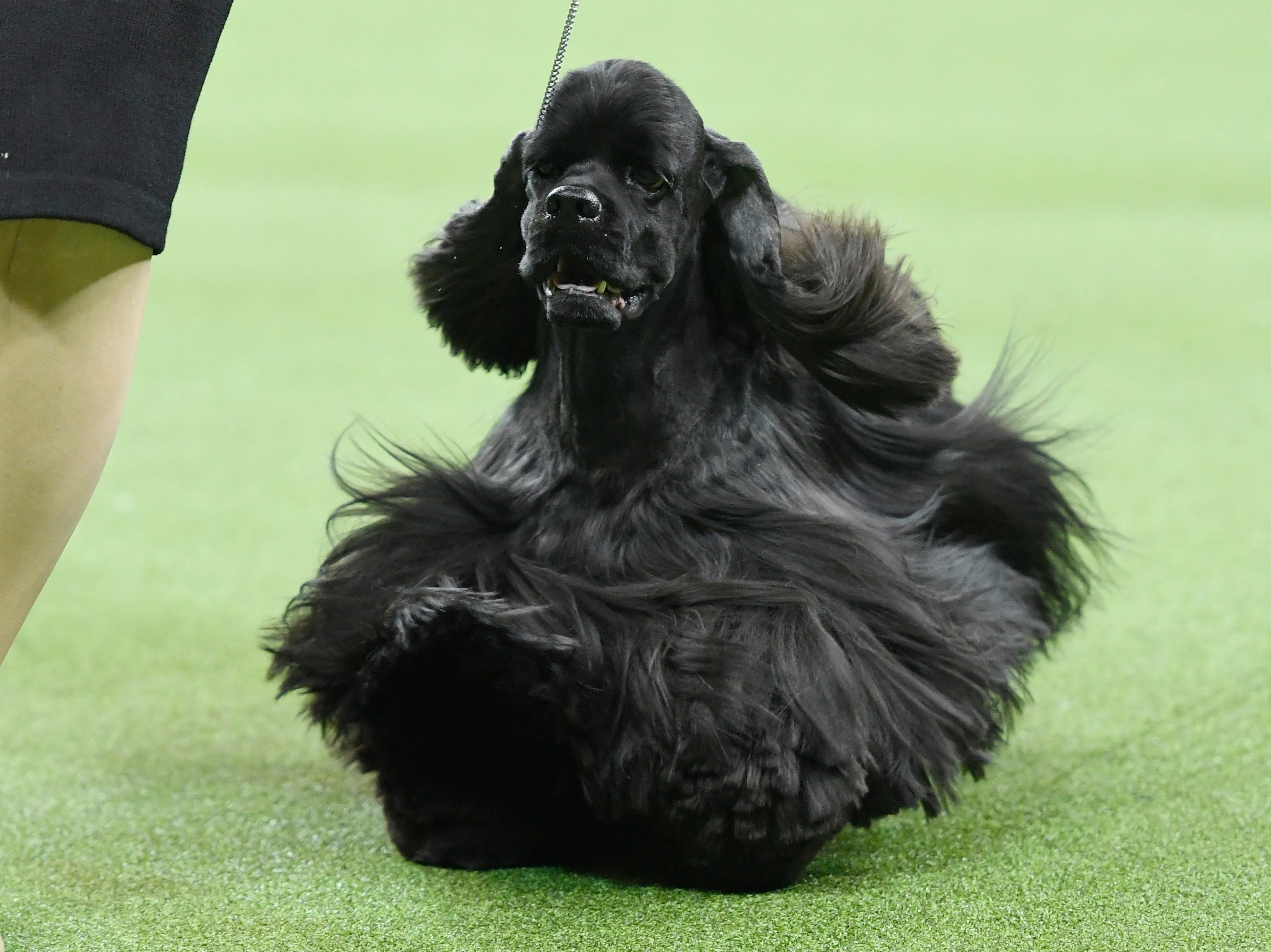 """The Black Cocker Spaniel  """"Grant"""" competes during Sporting Group judging at the 143rd Westminster Kennel Club Dog Show at Madison Square Garden."""