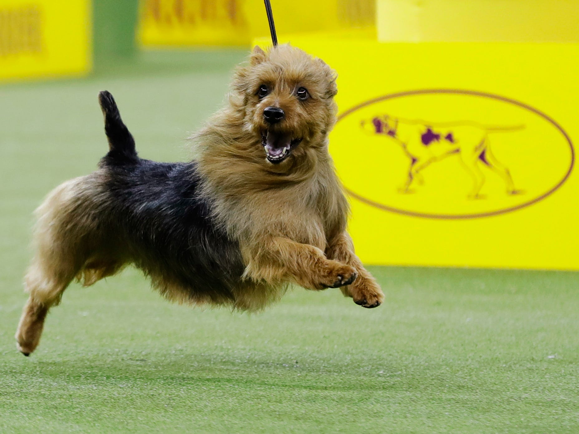 Bacon, an Australian terrier, competes with the terrier group at the 143rd Westminster Kennel Club Dog Show.