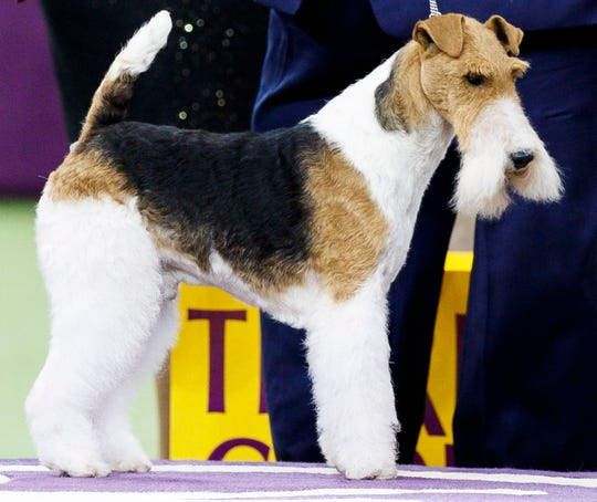 A wire hair fox terrier named King won Best in Show at the 143rd Westminster Kennel Club Dog Show.